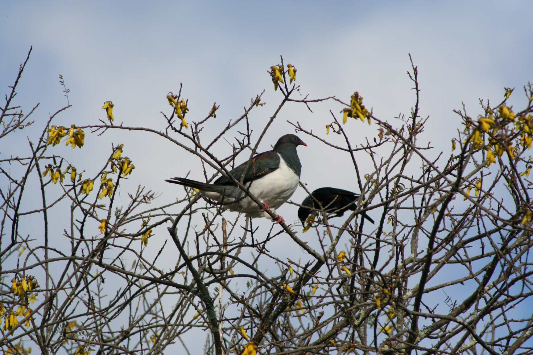 Magnificant wood pigeons feasting on Kowhai flowers