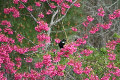 Beautiful Tui feeding in Cherry blossoms