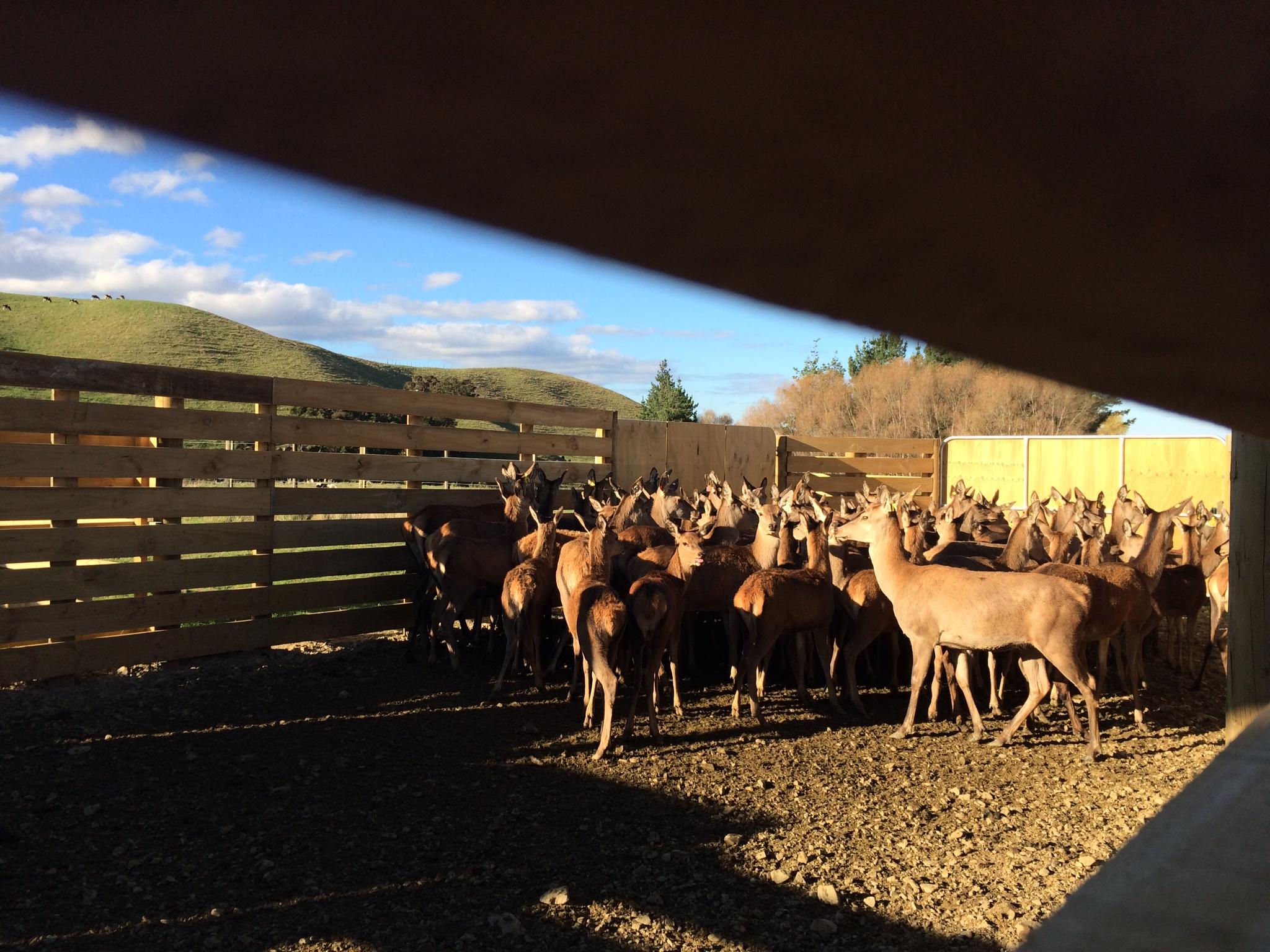 Deer yards drafting time
