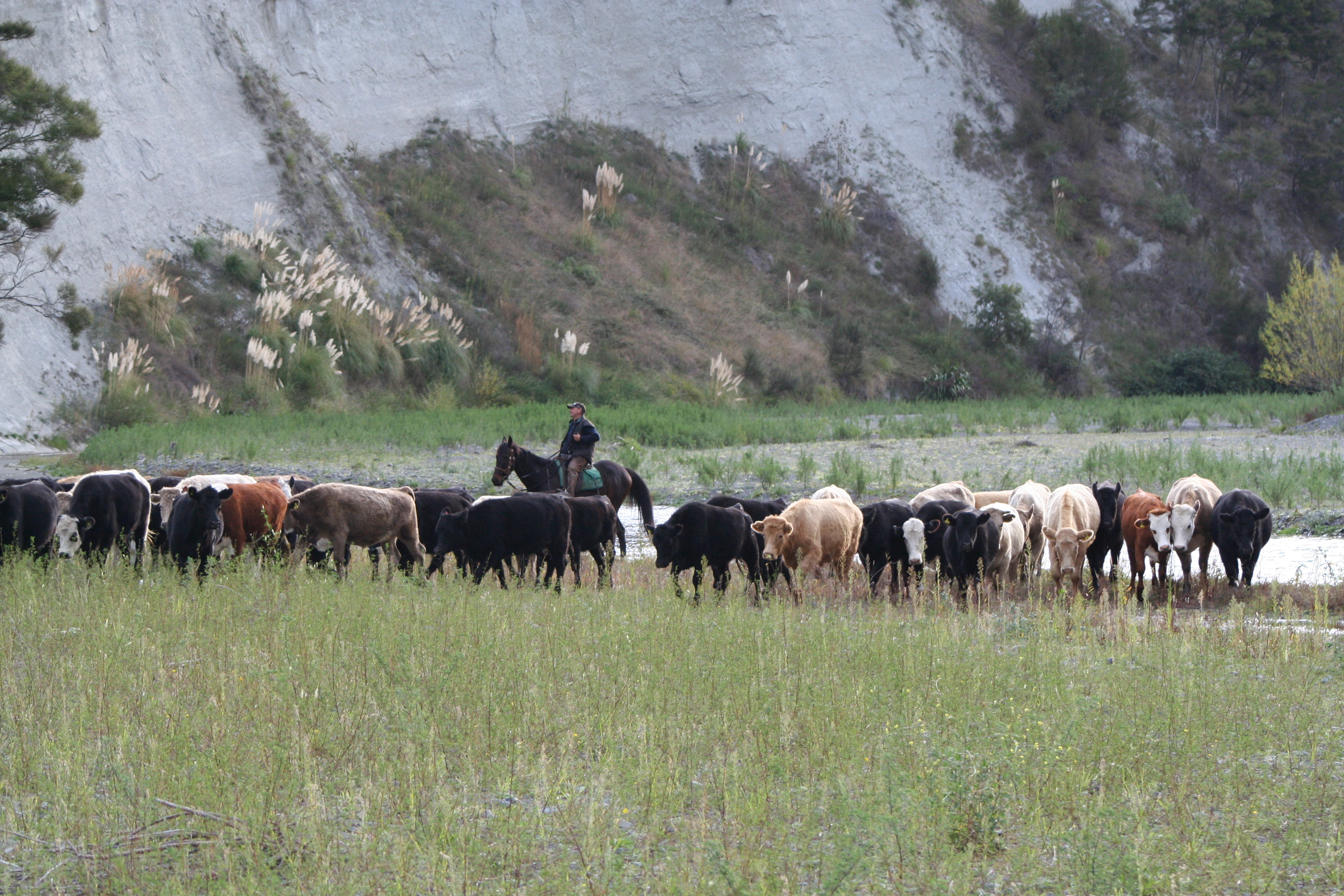 Gary mustering cattle on river
