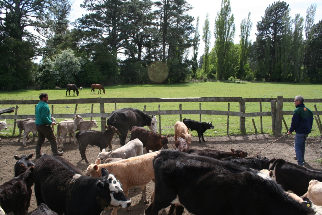 Cattle drafting