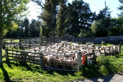 Sheep waiting to get loaded for market