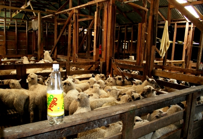 Sheep waiting for shearing