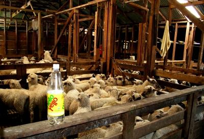 Sheep waiting for shearing