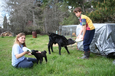 Kids feeding calves